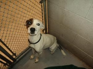 Bonnie is an adoptable Hound Dog in Beckley, WV. Bonnie is a very sweet girl. She has been at the shelter way to long. She is ready to have a home to call her own. She has tested well with other anima...