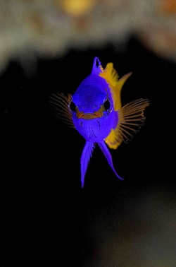 008_adj_DSC6503 fairy basslet by edpdiver on Flickr. Follow For Nature Posts packlight-travelf...