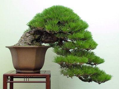 The Bonsai Art of Japan ... watch video at Bear Tales