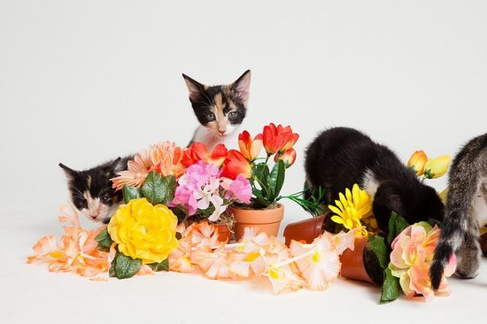 Calico Kittens with Flowers