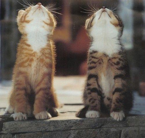 animal, animals, cat, cats, cute, duokucing