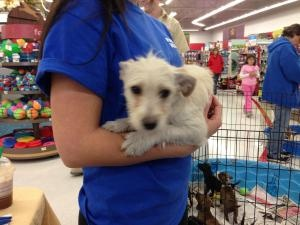 Rags is an adoptable Jack Russell Terrier Dog in Vancouver, WA.  ...