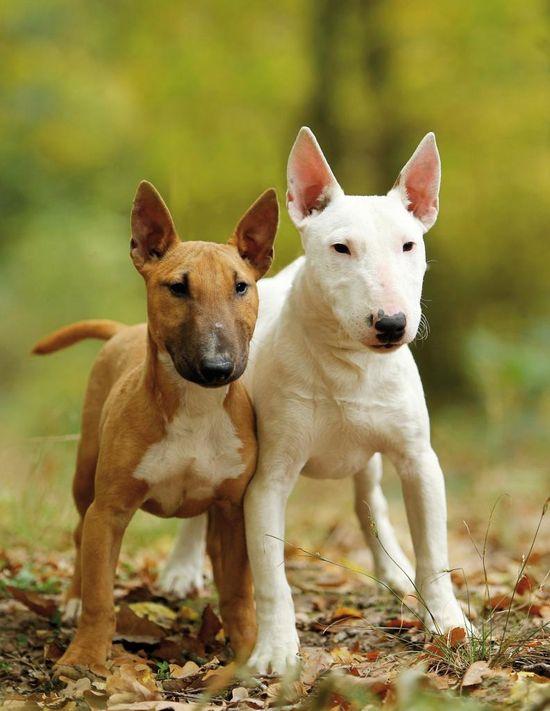 .Bull terriers