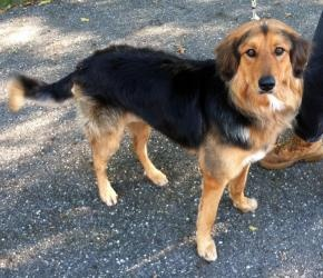 Sneakers is an adoptable Shepherd Dog in Salem, OH.