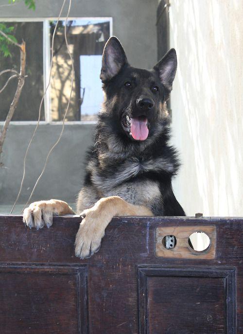 German shepherd looking over a door. Cutie. #gsd