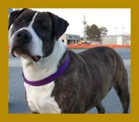 Beasley is an adoptable American Bulldog Dog in Portsmouth, VA. I'm Beasley. I'm a female, brindle and white, american bulldog that is about six years old. I'm looking for a family that is interested ...