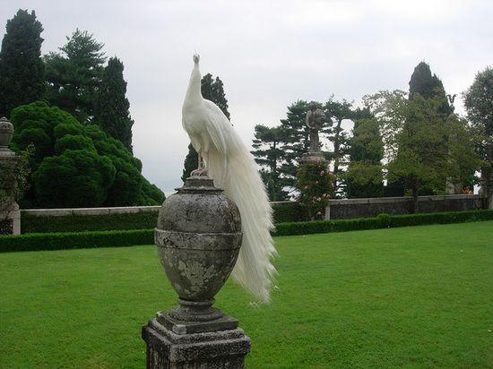 White Peacock in Isola Bella garden in Italy