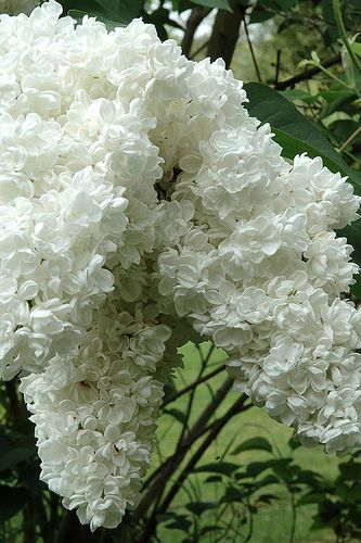 Beautiful White Lilac via Flickr.