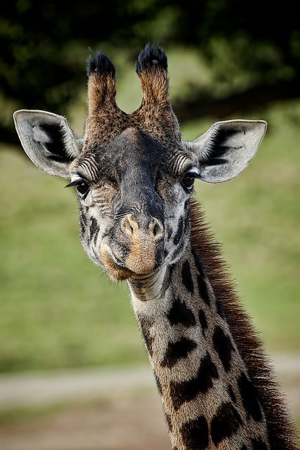 Giraffes have the same number of vertebrae in their necks as we do—seven.