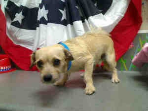 A410950 MORENO VALLEY ANIMAL SHELTER is an adoptable Terrier Dog in Moreno Valley, CA. Will you save me? his pet is located at the Moreno Valley Animal Shelter and urgently needs to be adopted or resc...