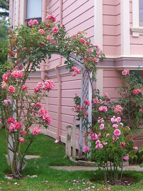 Pink rose arbor and pink house