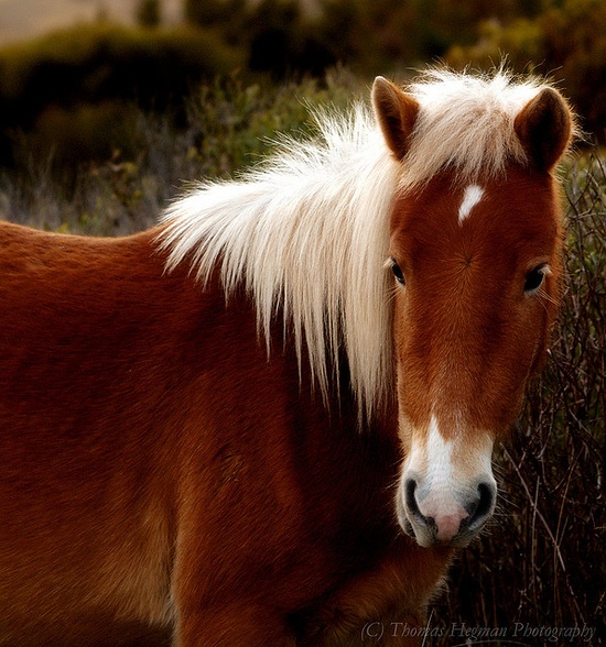 Wild Horse from Shackleford on the Outer Banks of North Carolina