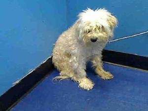 PRINCE is an adoptable Maltese Dog in New York, NY.  ...