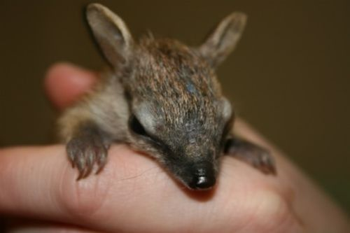 BABY - the NUMBAT. These endangered little marsupials are Australian and useful (they eat as many as 20,000 termites per day!), and they are also known as Walpurti.