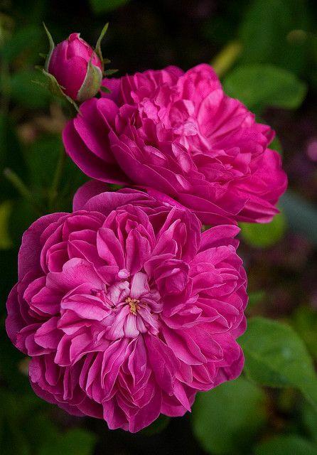 Pink Glendora