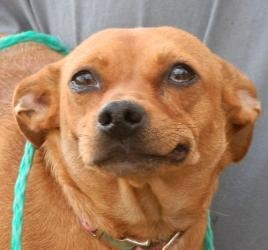 Allie is an adoptable Chihuahua Dog in Oxford, MI. I'm a pudgy 15 pound girl. I could stand to lose a couple pounds, but I'm sure all us girls say that. I'm a little timid when you first meet me, but ...