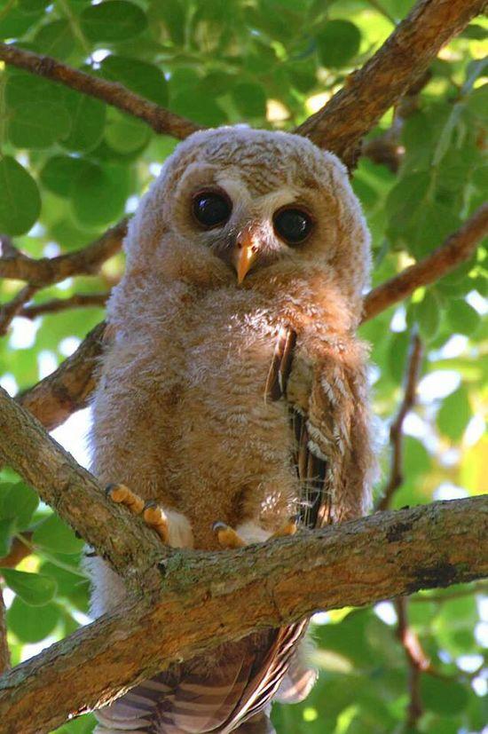 Too cute.... love owls! #owl #tree #animal #photography #babyowls #baby #bird #birds #brown