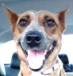 Gingerbread - A perfect family pet! is an adoptable Australian Cattle Dog (Blue Heeler) Dog in Andover, MA. **Please read Gingerbread's entire profile, which includes a link to the adoption applicatio...
