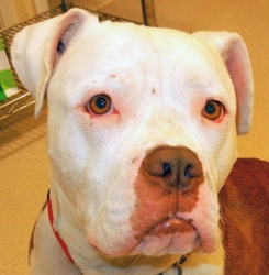 Dinky Dog is an adoptable American Bulldog Dog in Fenton, MI. Sweet, snuggly, fun puppy ready to join your family. I am up to date on all of my age related vaccines, wormed, flea treated, fixed AND mi...