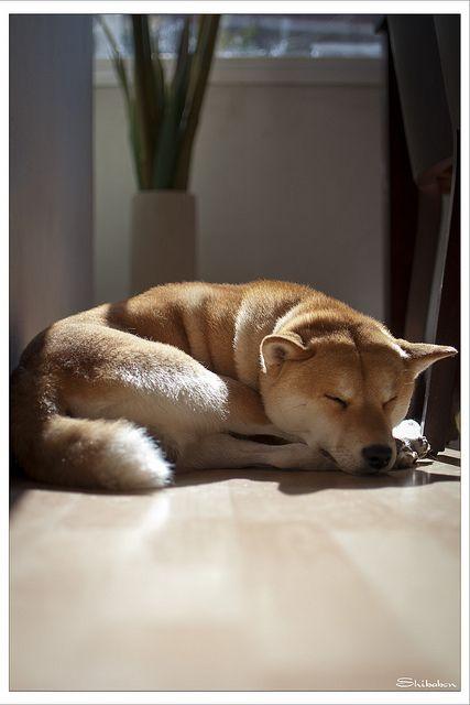Sleeping shiba ?
