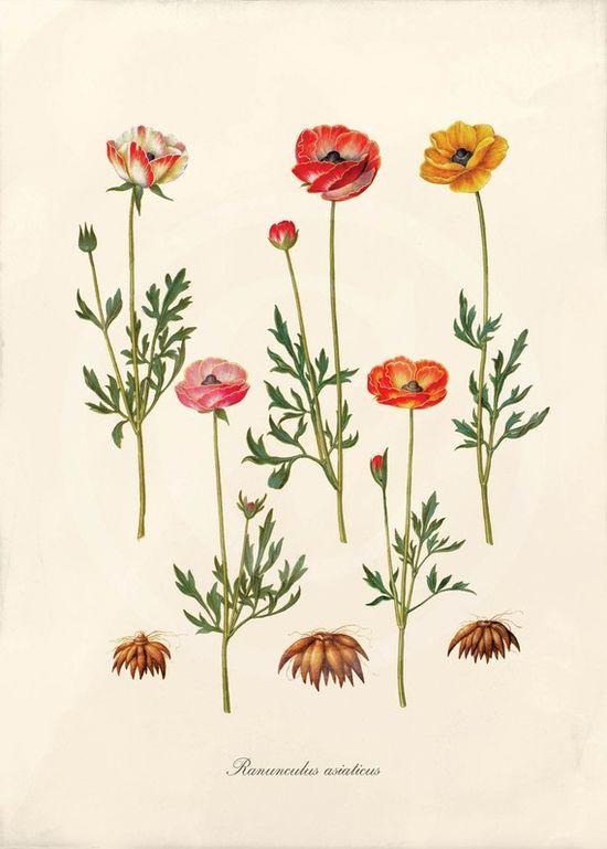Antique botanical prints