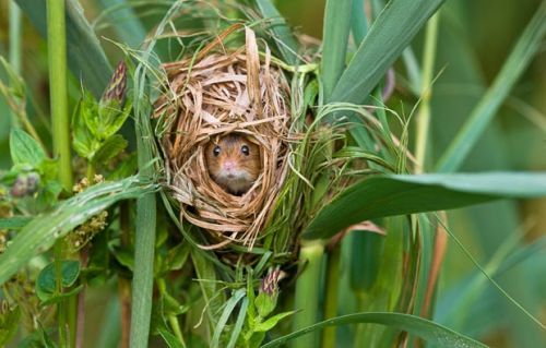 Harvest mice #mice