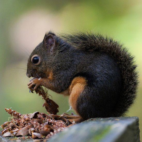 golden mantle squirrel