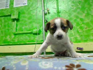 CALIFORNIA ~ URG'T ~ meet ID A4530801  ~ an #adoptable Terrier #puppy #dog in Gardena. Woof! THIS DOG IS CURRENTLY AT THE CARS0N ANIMAL SHELTER.   216 W. Victoria St.   Gardena, CA 90248   ph (310) 523-9566
