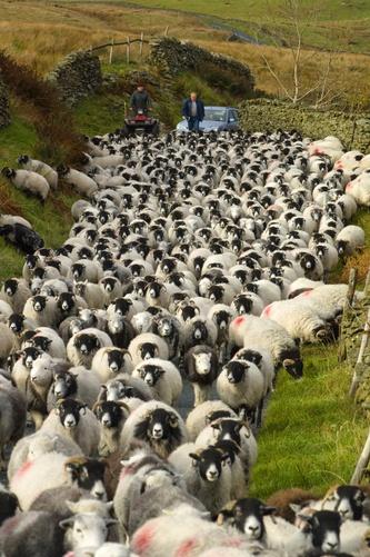 Black Faced Sheep on an irish road...~Country Antrim, Northern Ireland