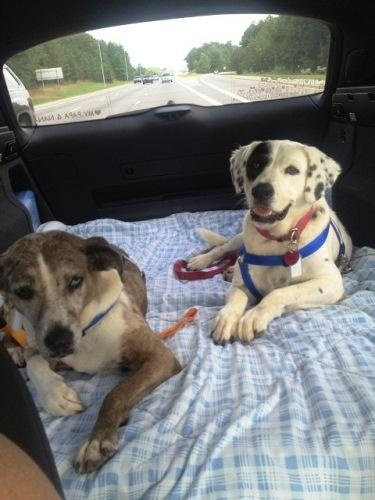"#NCAROLINA ~ Lucy & Gunner are a #BondedPair of #adoptable #senior Catahoula mixes in #Dover. Dropped off at a shelter by their owner when she lost her job & became homeless. We rescued them & they're in a foster home but would love a ""furever"" home. Both house/cratetrained UTD shots & undergoing slow-kill HW treat't.  #Adopt thru Catahoula Rescue SE  Please click on pic for additional info on these dogs"