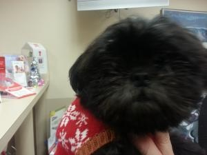 Monica/ now Molly is an #adoptable Shih Tzu Dog in #Trenton, #MICHIGAN. Monica/Molly is a beautiful little girl - 18 months old- her owner could no longer afford to keep her and she was surrendered to us. Afte...