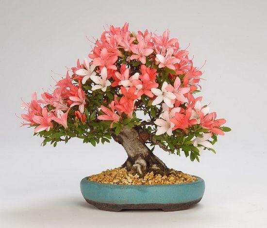 Flowering Bonsai.