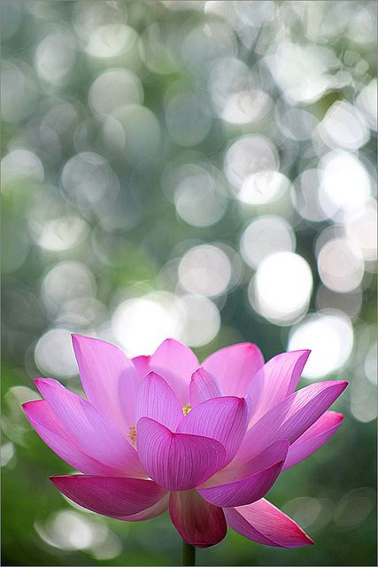 Lotus Flower at SunRise -- by Bahman Farzad