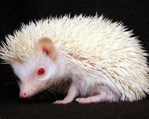 Albino Hedgehog - Wild Animals Photo (2785478) - Fanpop