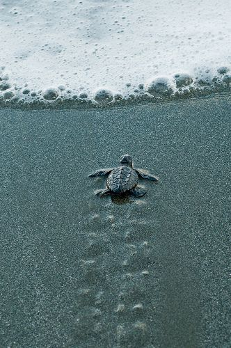 Not afraid--baby sea turtle embarks on the journey of his life
