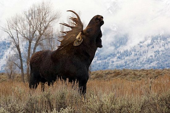 Look, it's a meese.