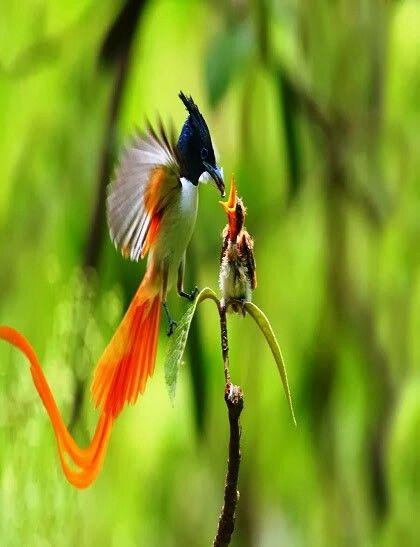 Bird of paradise mommy