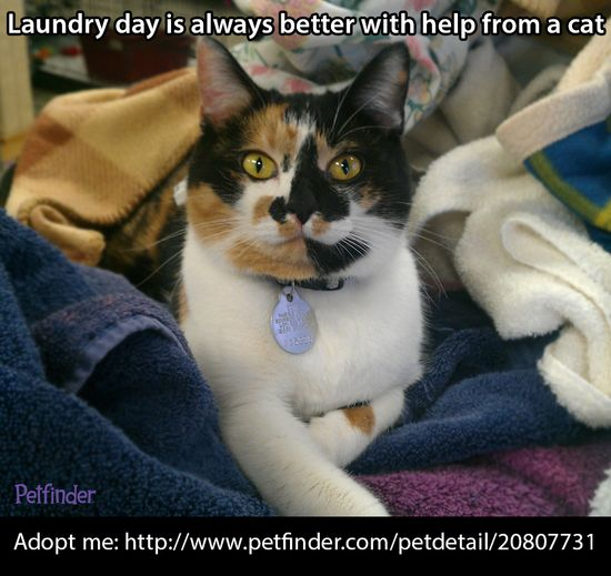 """Repin Morgan if your pets have ever """"helped"""" you with a chore!  Morgan is looking for a home where she can put her laundry skills to good use. Click through to learn more about this cute cat."""
