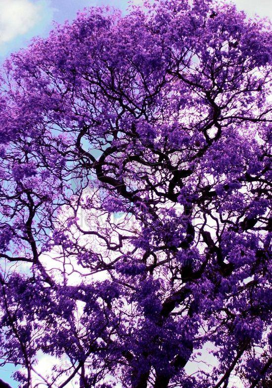 A Jacaranda tree in South Florida