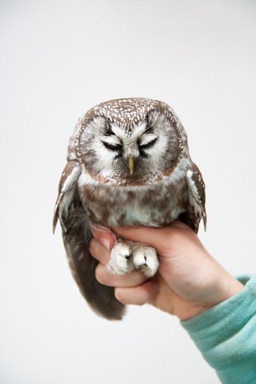 Fluffy owl.
