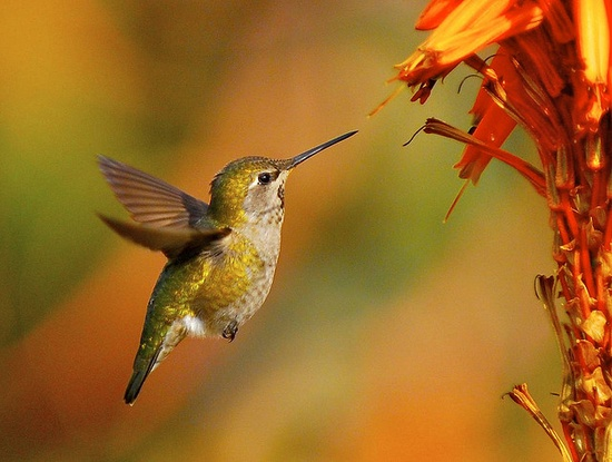 I ? Humming birds