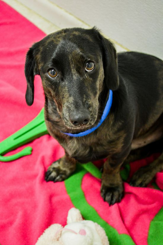 Jace is a sweet 10.5 month dachshund mix that's looking for his forever home. He is a cute little guy that's already fully vaccinated, neutered, and will be microchipped before heading home. Stop by and meet this sweet boy at our Southwest Adoption...