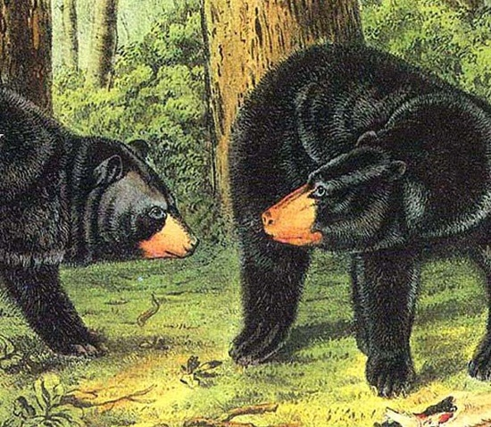 Black Bear John J Audubon Print North American Wild Animal Lithograph