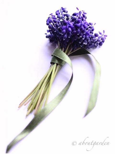 ABOUTGARDEN:  Muscari