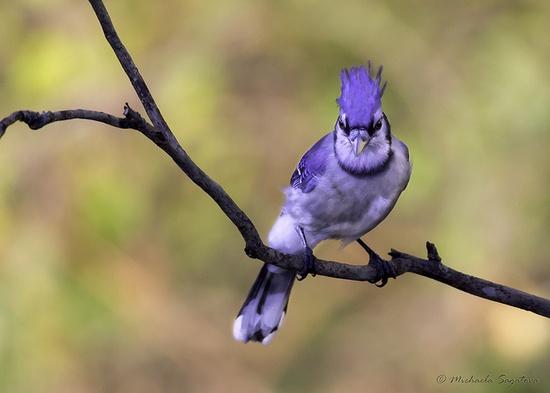 Backlit Blue Jay by Michaela Sagatova