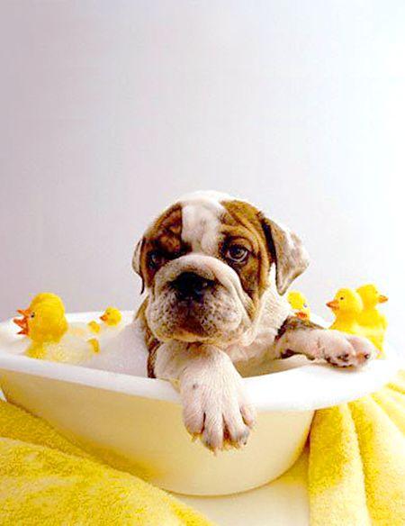 bulldog bathing with his buddies..