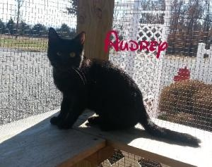 Audrey is an adoptable Domestic Short Hair Cat in Houston, MO. AUDREY DOMESTIC SHORT HAIR CAT FEMALE Hello my name is Audrey I am about 8 months old. I am litter-box trained and up to date on my shots...
