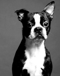 """NEBRASKA ~ meet Bubba an #adoptable Boston Terrier Dog in Omaha, Bubba is a 4 year old male.  He is an owner surrender. Bubba has very specific needs with his new home.  He requires a fenced in yard...not because he would run off, but because he is a """"shy"""" eliminator.  He'll not go on a leash & will not do it if anyone is standing near him. The fenced in yard would allow him to go in private.  Bubba also has some food allergies, but they are kept in check as long as he is on a grain free food."""