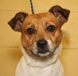 Adopted! Dylan - Jack Russell Terrier  mix- Clarksville, TN.  5 yrs old.