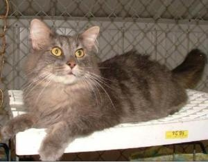 Ty is an adoptable Domestic Medium Hair-Gray Cat in Savannah, MO. Hi, Im Ty and I am a beautiful gray long haired gentleman. I dont know exactly how I came to be here but Im adjusting to my new surro...